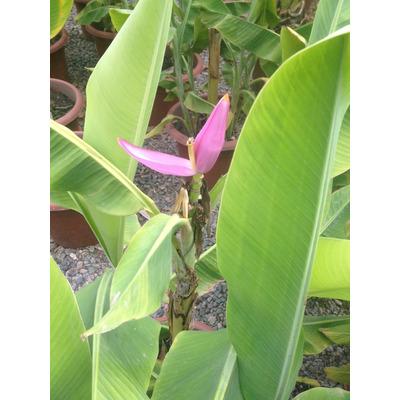 Plantas de 1 mt platano musa o banano a domicilio jardin for Banano de jardin